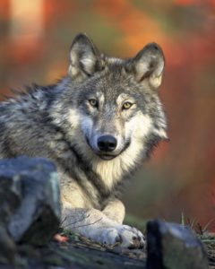 électrificateur pour loup